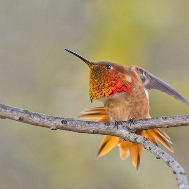 Allen's Hummingbird DSC01397