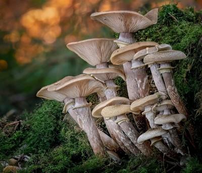 Honey Fungus Hanging Wood.JPG