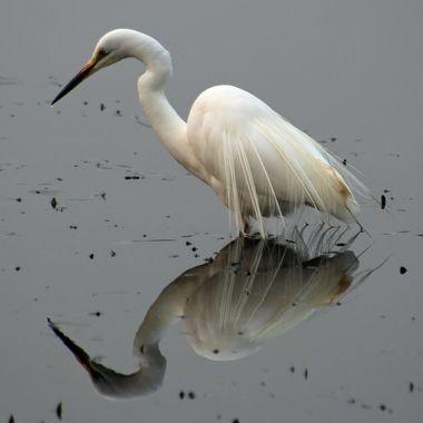 Intermediate Egret in his breeding plumage