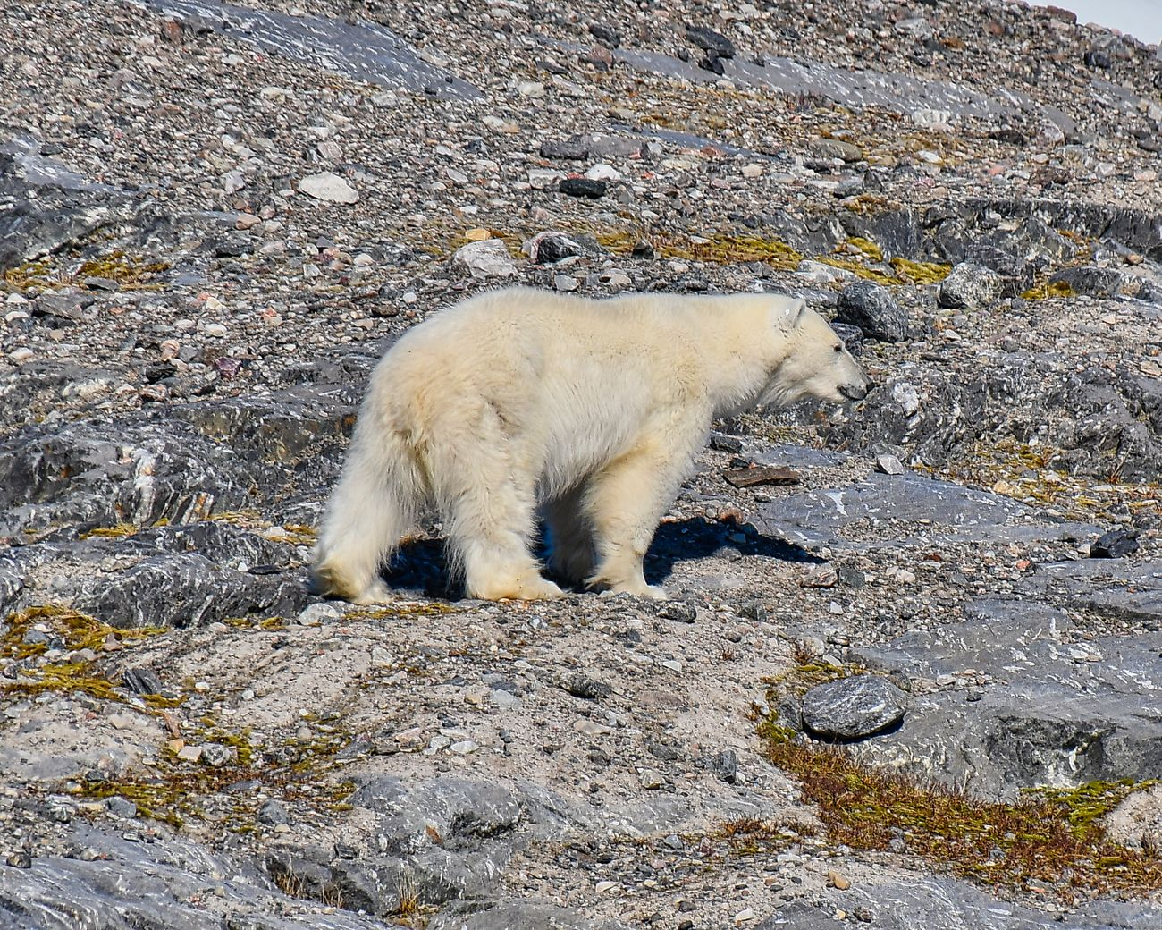 Polar Bear photgraphed on a rock in Adolfbukta bay located in Billefjorden, which is a branch of Isfjorden, situated in the central part of Spitsbergen (Svalbard) in the Arctic region.