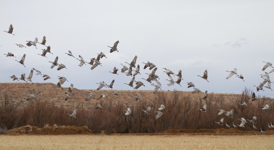 Sandhill Cranes fill the fields alive with Autumn color in Bosque del Apache, New Mexico.
