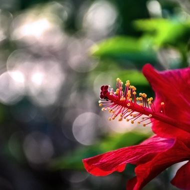 Bokeh and Hibiscus NW