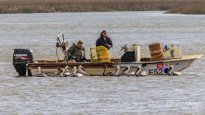 Brown Pelicans begging for food