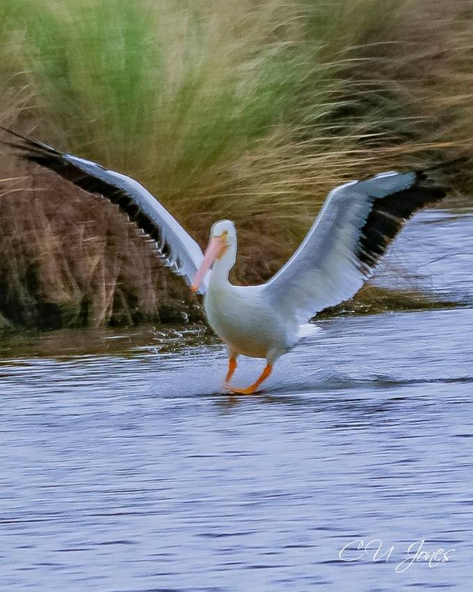 Coming in for the landing white pelican