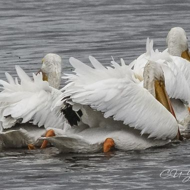 White Pelicans visit Donnelly