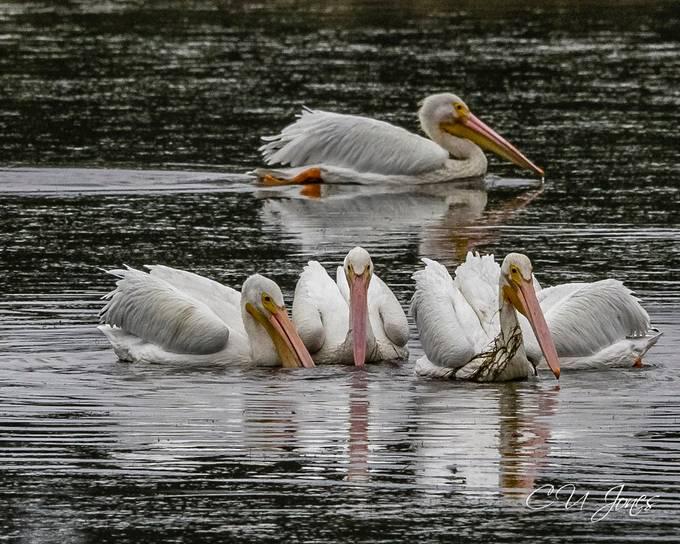White Pelicans visit Donnelly