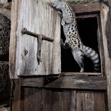 Wildlife.Gineta (Genetta genetta), entrando sigilosamente en una cabaña abandonada.