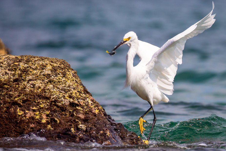 It is mesmerizing to watch this adult Snowy Egret use its exceptional eye site to catch its prey ...