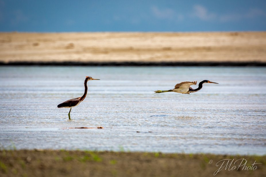 These young tricolored herons were teamed up looking for a spot to catch some fresh fish.      TM...