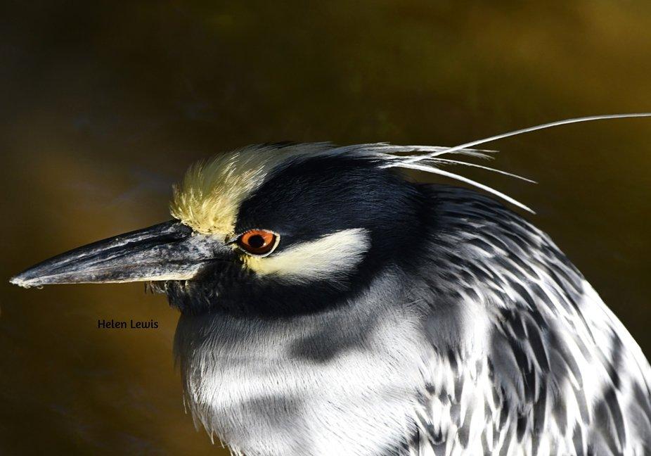 Night Heron in the Mangroves