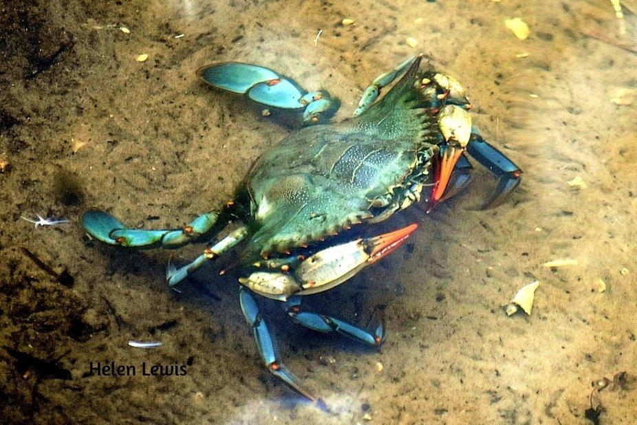 Blue Crab under water