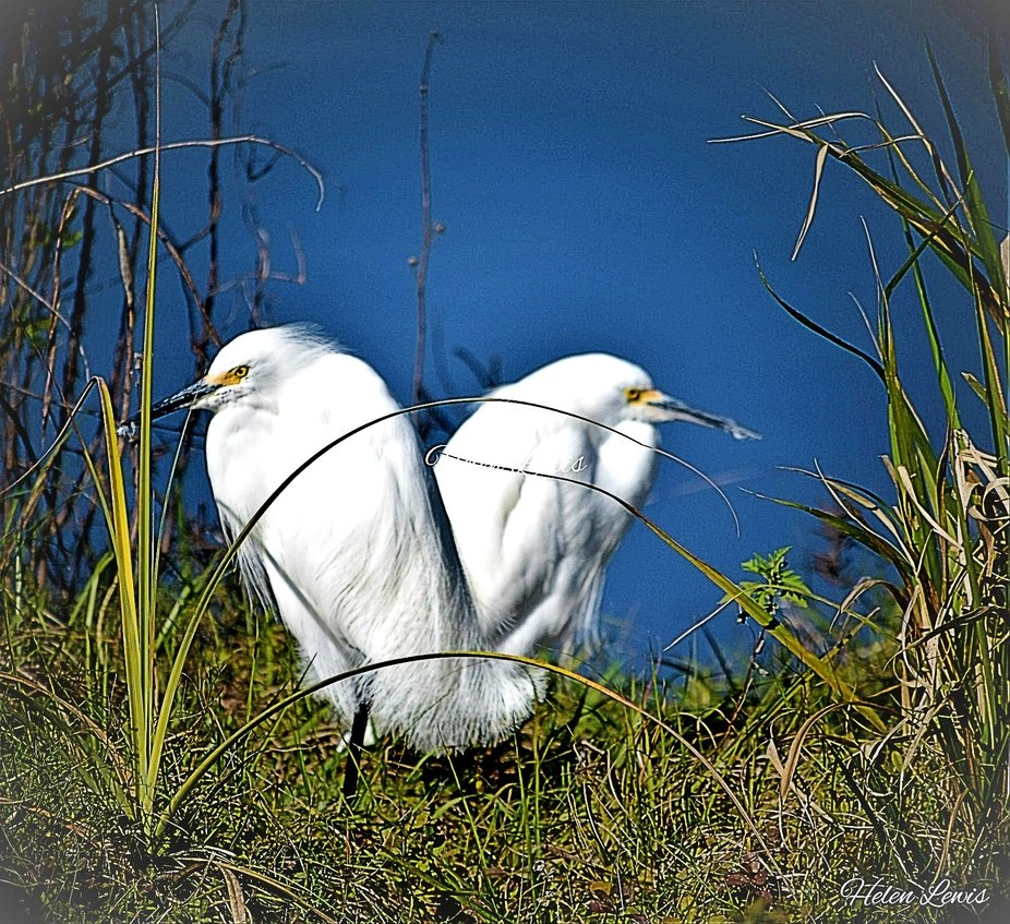 A pair of Great Egrets looking like one heart