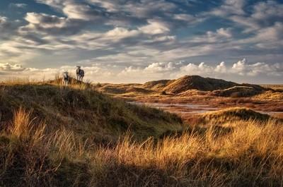 dune sheep