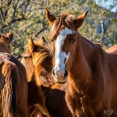 Wild Horses of Salt River in AZ 2