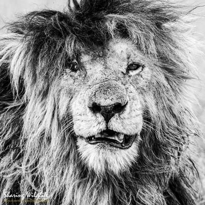 The legendary lion Scarface