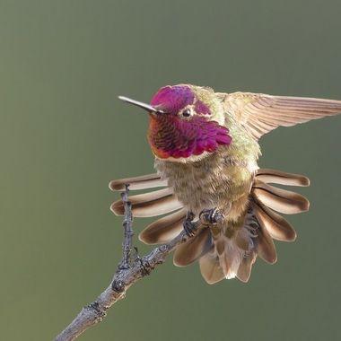 Anna's Hummingbird DSC03538