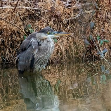 I snuck up on this Great Blue Heron fishing in the pond in my backyard. I had a number of branches and bushes between us. So, I could not configure the image just the way I would have liked to.   DSC_0601