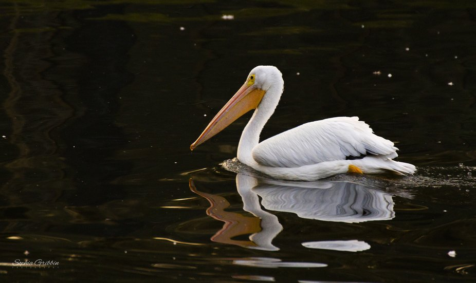 American White Pelican; one of many in a flock that have migrated to Florida for the winter.  A f...
