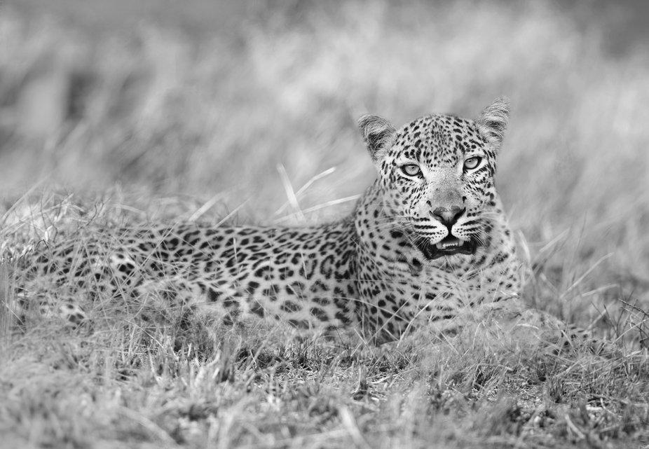 Leopard (Monochrome)
