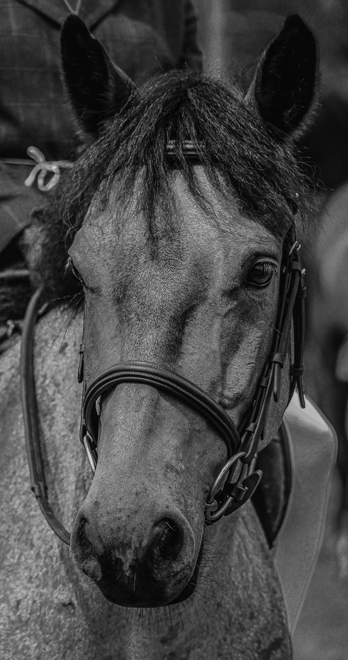 Horse's head in black and white