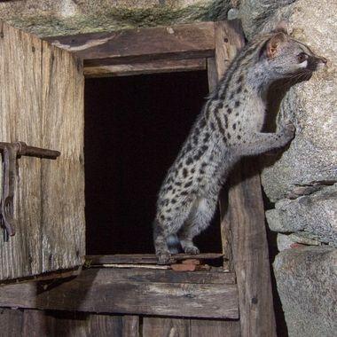 Genetta en libertad, entrando sigilosamente en una cabaña abandonada
