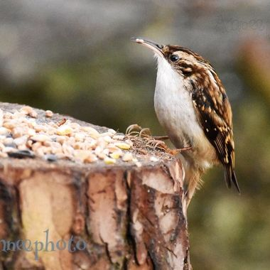 Treecreeper enjoying a wee snack