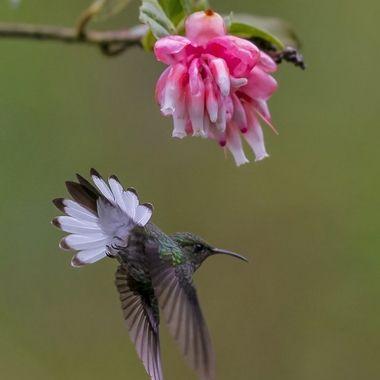 Striped-tailed Hummingbird DSC04297