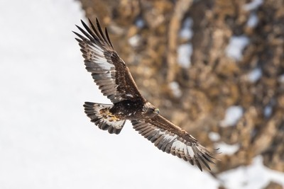 Golden Eagle looking for pray