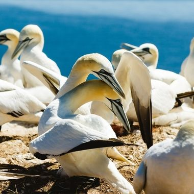 This pic is one out of a series of 16 images showing the greeting ritual of the Northern Gannet after one partner of that couple returned to the rock cliff. Must be real love.