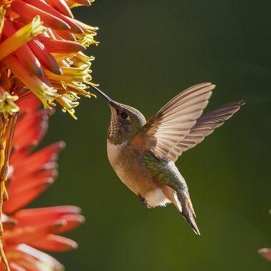 Allen's Hummingbird DSC09655