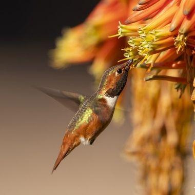 Allen's Hummingbird DSC09866