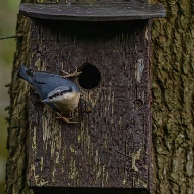 This Nuthatch spent some time hammering around the hole in the nest box to enlarge it and then was seen extracting old bedding from inside..