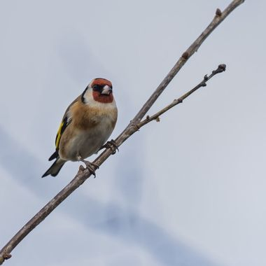 A Goldfinch at Aberogwen, near Bangor.
