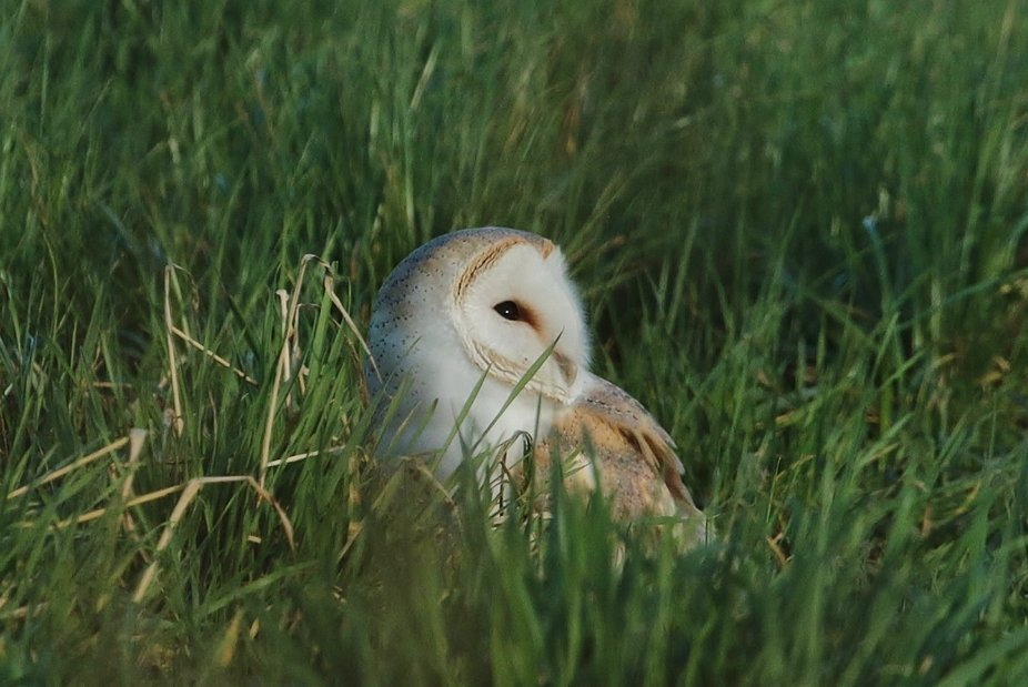 wild female barnowl shelters from the wind in the long grass..