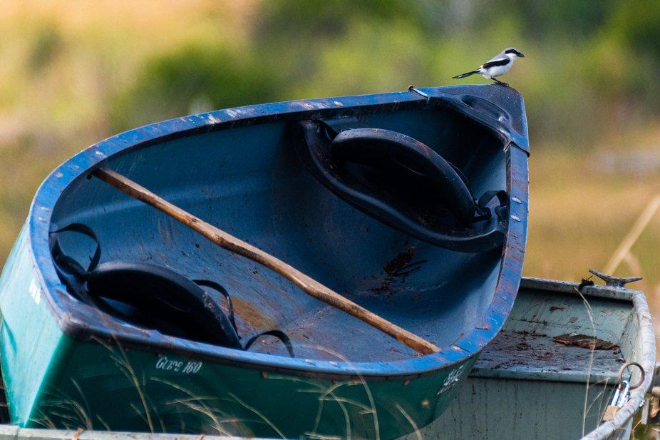 Loggerhead Shrike on boat