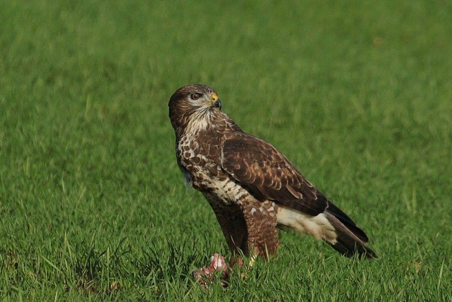 common buzzard taking time to savour its dinner...
