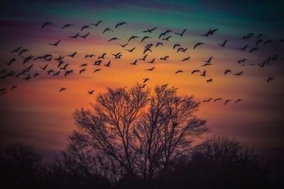 Crane Migration Sunset