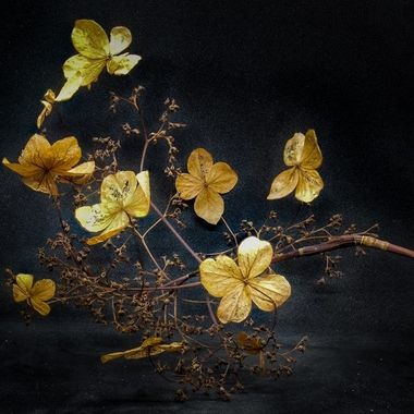 Old and beautiful left over of the blossoming of a hydrangea