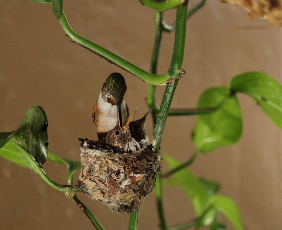 Anna's Hummingbird with her brood.