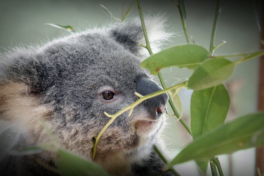 Spent quite a lot of time with the koalas while visiting the Currumbin Wildlife Sanctuary on the ...