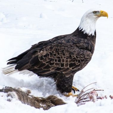 Taken along the truck route on my way home. This hungry eagle let me get fairly close before flying to a nearby tree