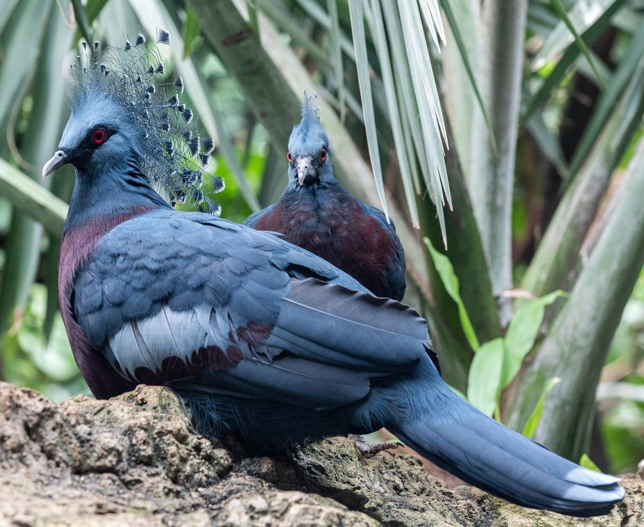 Victoria Crested Pigeons on a Rock