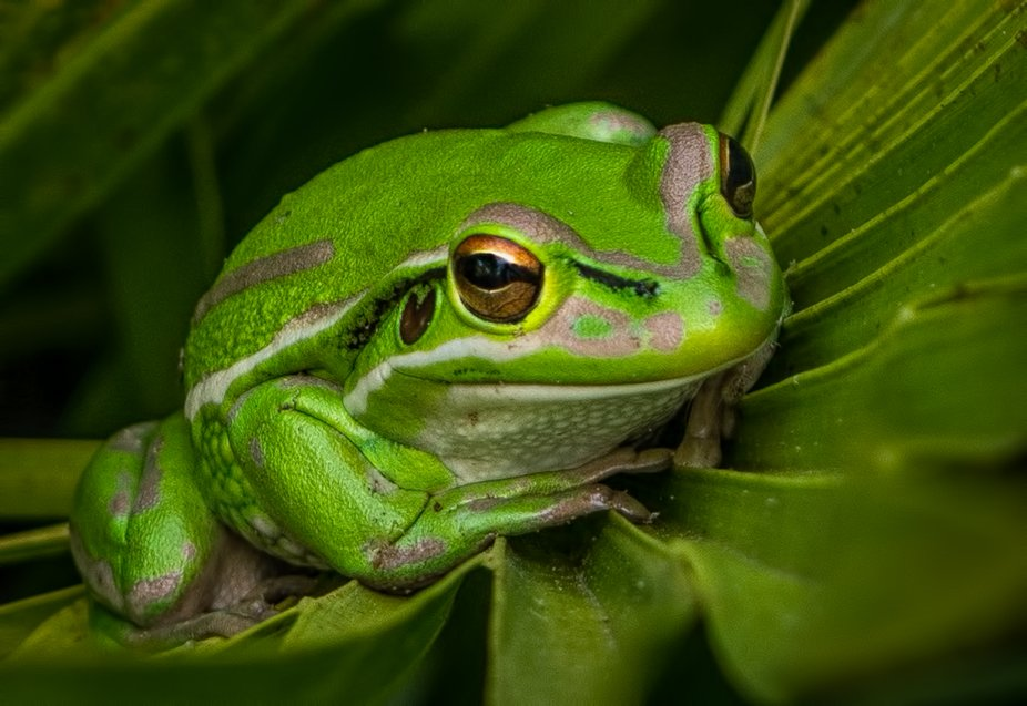 a green and golden bell frog sits on a plam leaf in my garden - NZ