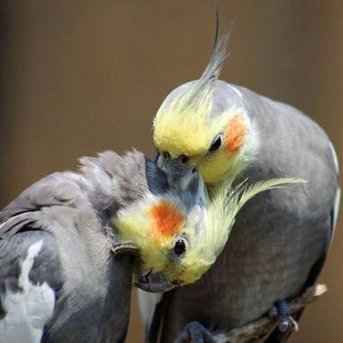 Cockatiels preening