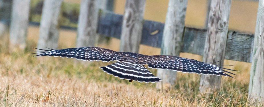 Adult Red-shouldered Hawk seeking perch.  DSC_0674