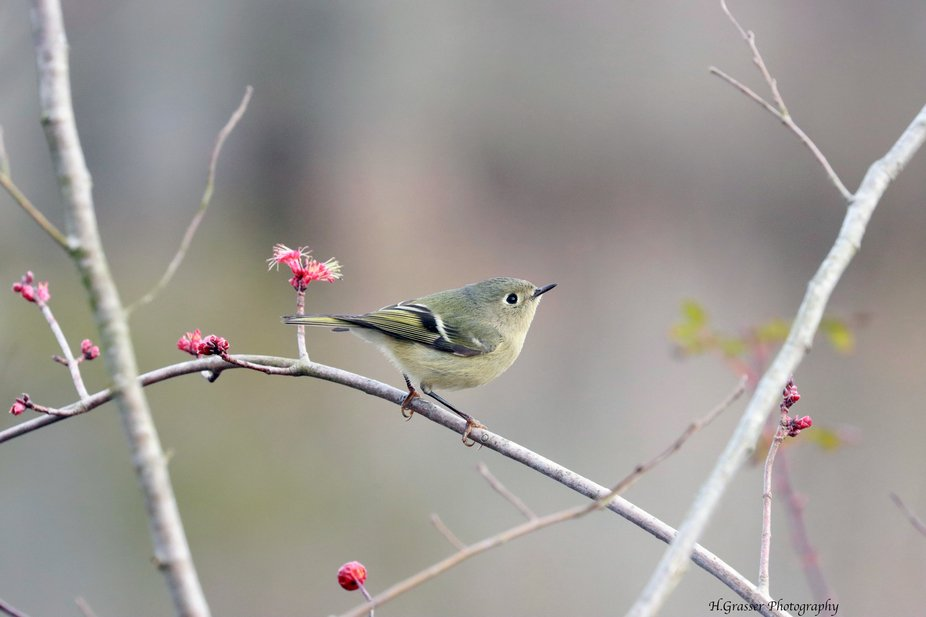 Ruby crowned Kinglet upclose