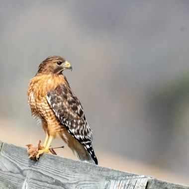 I came across this mature Red-shouldered Hawk along side of a paved country road. It perched and hunted the edge of the road while light traffic including bicyclists went by a few feet away. The bird was unconcerned until a large truck approached.  DSC_0705