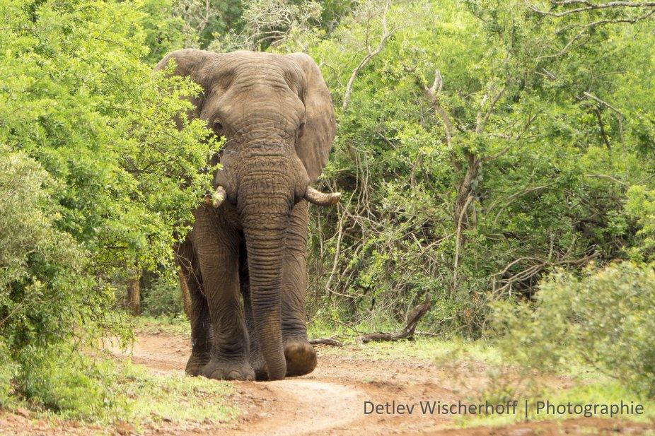 elephant bull on his way