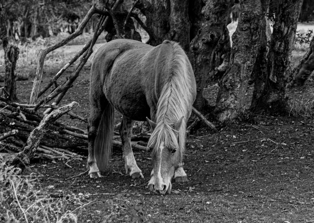 New Forest pony in black and white