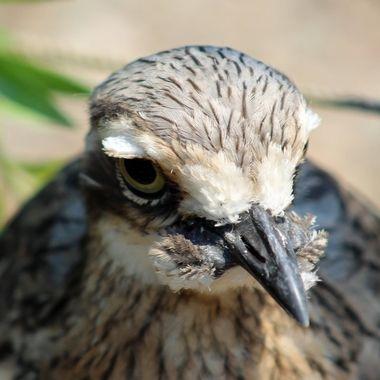 The impressive stare of a curlew
